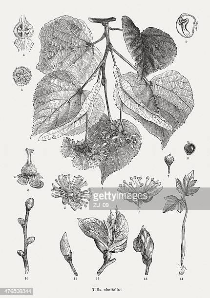 small-leaved lime, wood engravings, published in 1877 - pollen stock illustrations