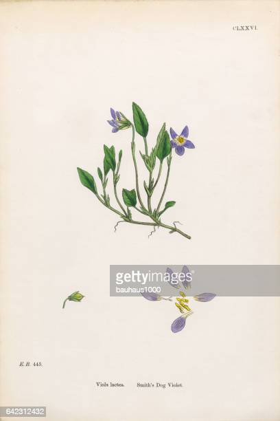smith's dog violet, viola lactea, victorian botanical illustration, 1863 - wildflower stock illustrations, clip art, cartoons, & icons