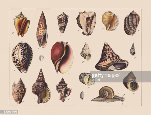 カタツムリ(胃ポッド)、手色クロモリトグラフ、1882年に出版 - 甲殻類点のイラスト素材/クリップアート素材/マンガ素材/アイコン素材