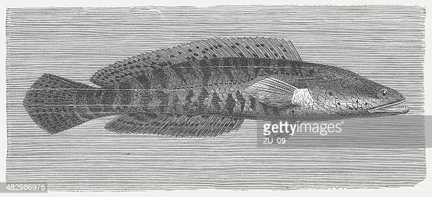 Snakehead murrel