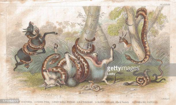 Snakes old litho print from 1852