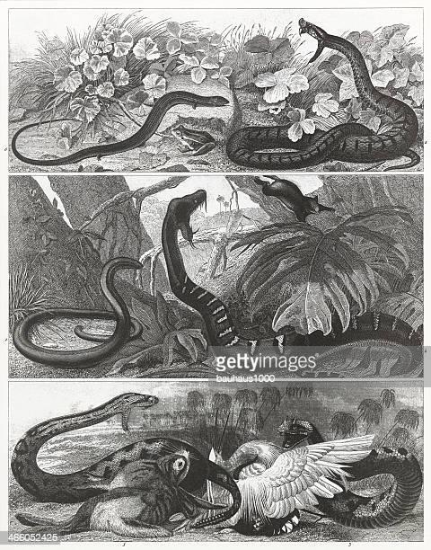 Snakes & Reptiles Engraving
