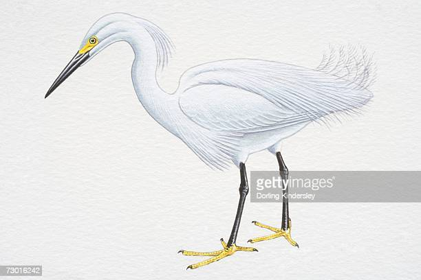 Snowy Egret (Egretta thula), with white plumage, black bill and yellow feet, side view.