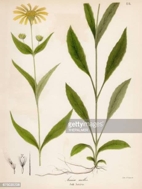 ソフト アルニカの植物彫刻 1843 - アルニカ点のイラスト素材/クリップアート素材/マンガ素材/アイコン素材