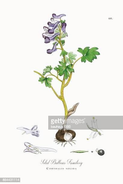 solid bulbous fumitory, corydalis solida, victorian botanical illustration, 1863 - plant bulb stock illustrations, clip art, cartoons, & icons