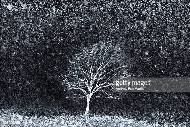 Solitary tree on a snowy winter's night