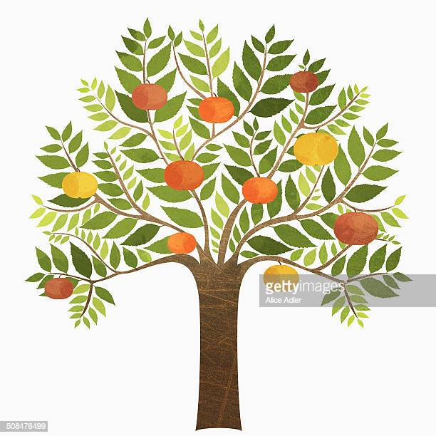 some oranges growing on tree over white background - fruit tree stock illustrations