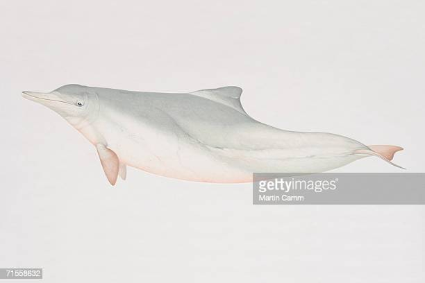 sousa chinensis, indo-pacific humpback dolphin, side view. - humpback dolphin stock illustrations