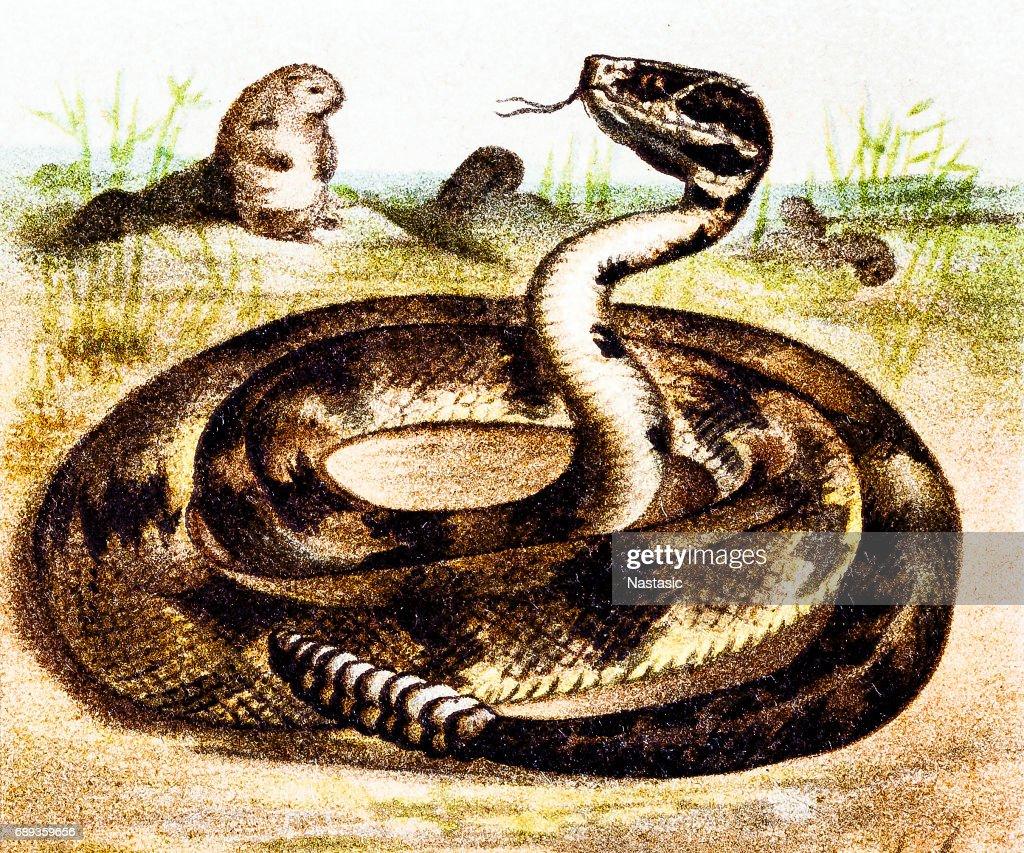 Crotalus América do Sul (Crotalus durissus) : Ilustração