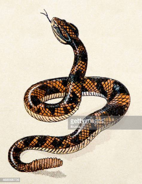 South American rattlesnake, reptiles animals antique illustration