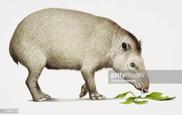 Tapir amazónico, Tapirus terrestris, vista lateral, comer.