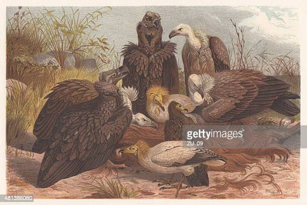 southern european vultures, lithograph, published in 1882 - scavenging stock illustrations