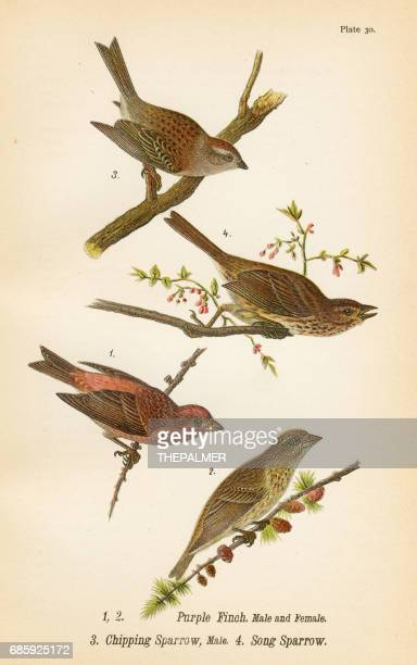 Sparrow and Finch bird lithograph 1890