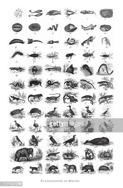 species, classification of animal species engraving antique illustration, published 1851 - mammal stock illustrations