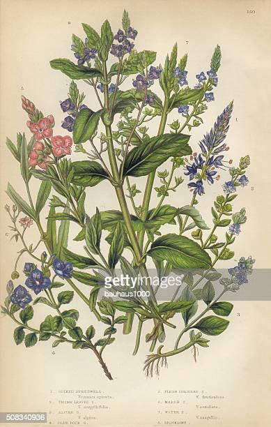 speedwell, thyme, veronica, victorian botanical illustration - 1840 1849 stock illustrations