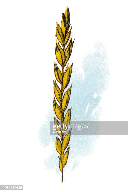 ilustraciones, imágenes clip art, dibujos animados e iconos de stock de escanda (triticum spelta), también conocido como trigo de dinkel o trigo cascado - espiga de trigo