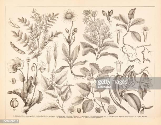 Épice condiments végétaux opium illustration vanille et arnica
