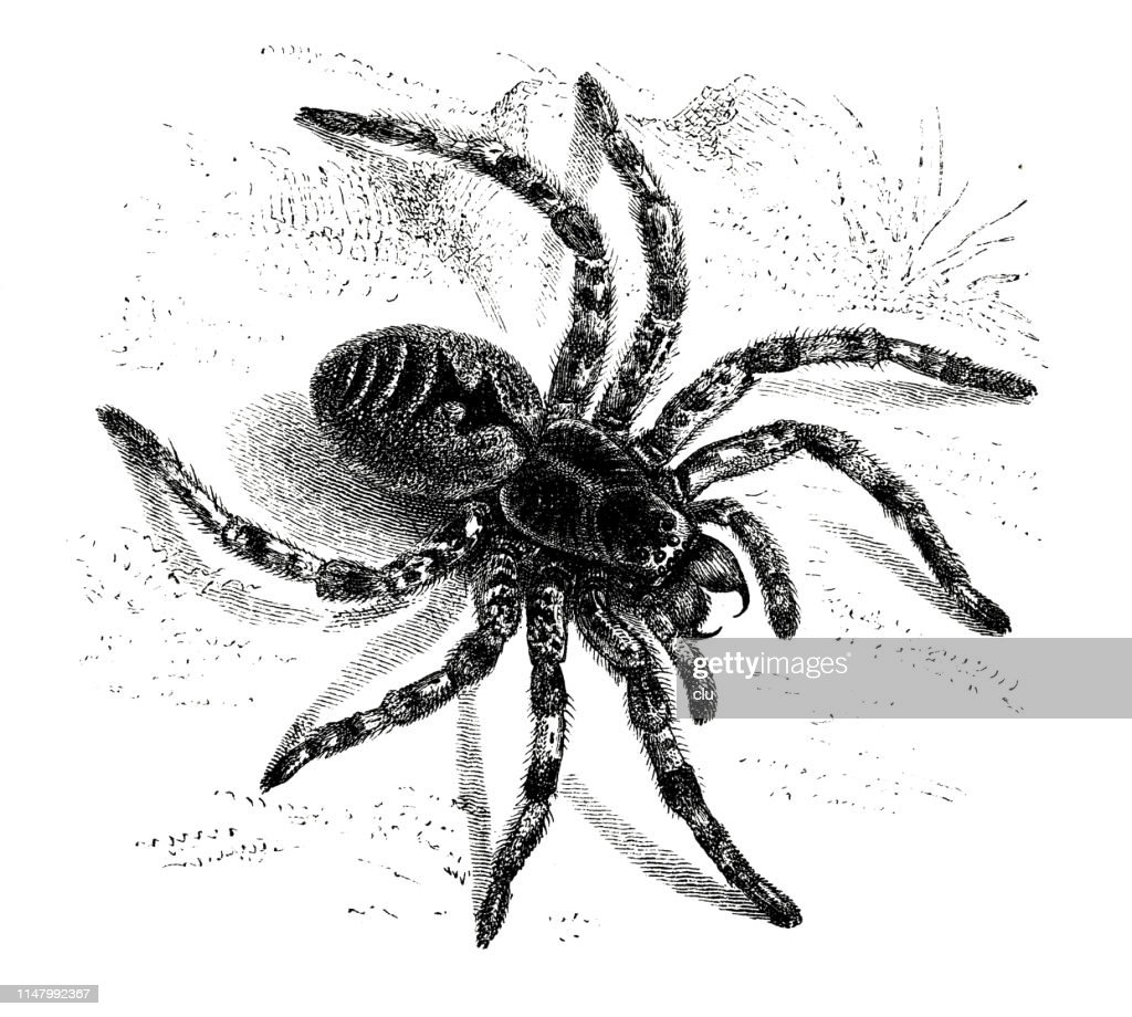 Spider Apulian Tarantula From Above High Res Vector Graphic