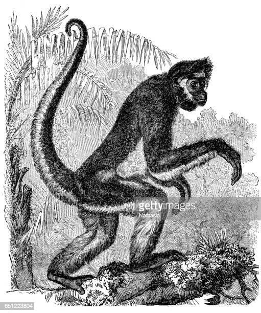 Spider Monkey (Ateles Bartlettii)