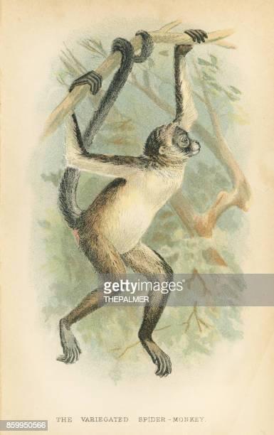 ilustrações, clipart, desenhos animados e ícones de primata macaco-aranha-1894 - zoologia