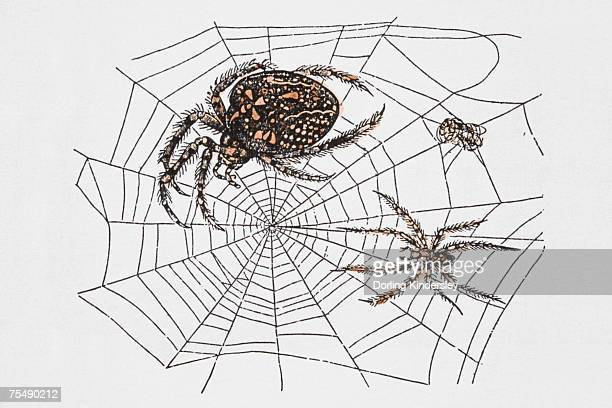 Spiders in web, image demonstrating structure's strength