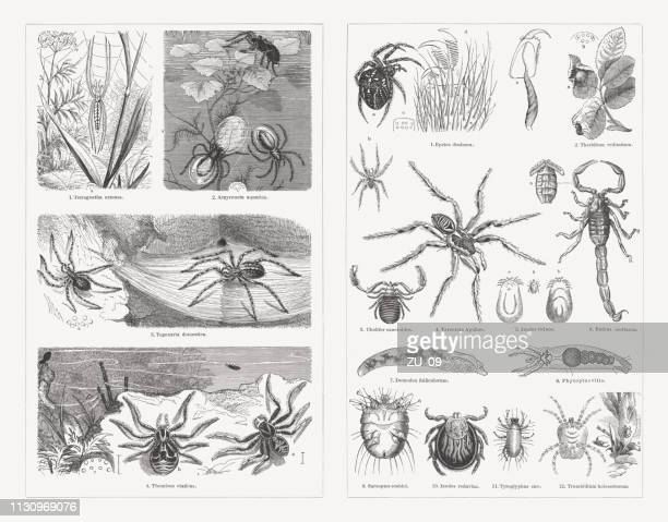 spiders, wood engravings, published in 1897 - spider stock illustrations