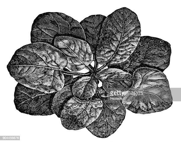 Espinaca (Spinacia oleracea
