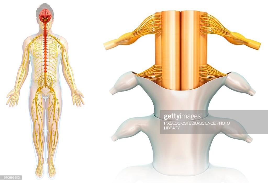 Spinal Cord Anatomy Illustration Stock Illustration | Getty Images