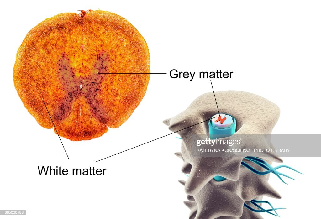 Spinal Cord Crosssection Illustration Stock Illustration Getty Images