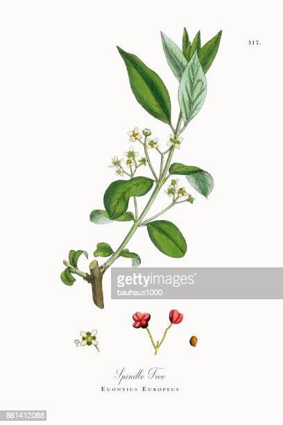 spindle tree, euonyius europeus, victorian botanical illustration, 1863 - plant bulb stock illustrations