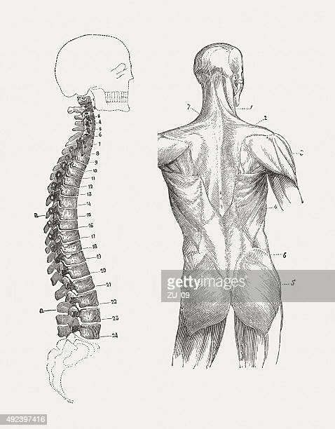 spine and back muscles of man, published in 1884 - early homo sapiens stock illustrations, clip art, cartoons, & icons