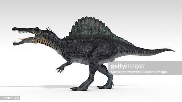 spinosaurus dinosaur, white background. - animal body stock illustrations, clip art, cartoons, & icons