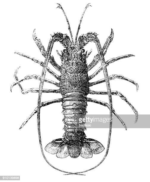 Spiny Lobster (Palinurus Elephas) , common names include European spiny lobster, crayfish or cray , common spiny lobster,Mediterranean lobster and red lobster