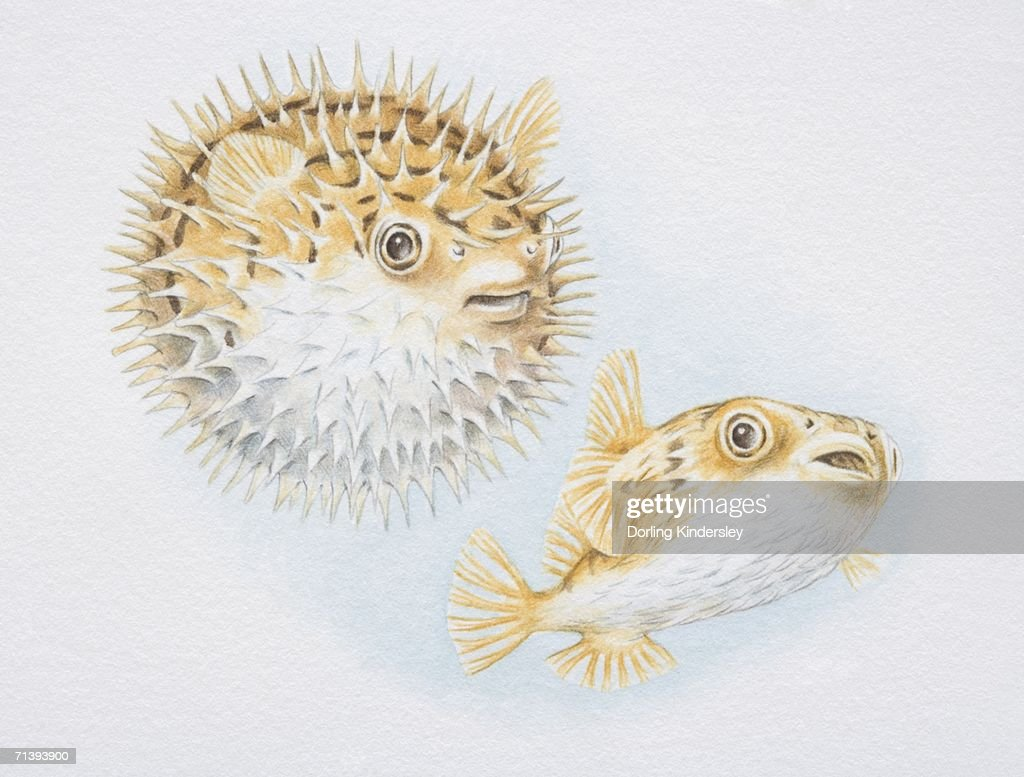 Image result for illustration of puffer fish before and after it blows up