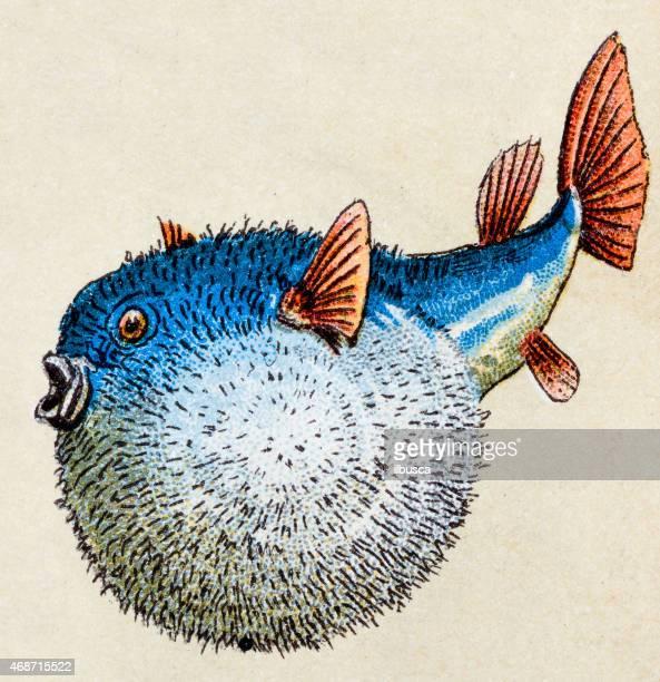 spotfin burrfish, fish animals antique illustration - butterflyfish stock illustrations, clip art, cartoons, & icons