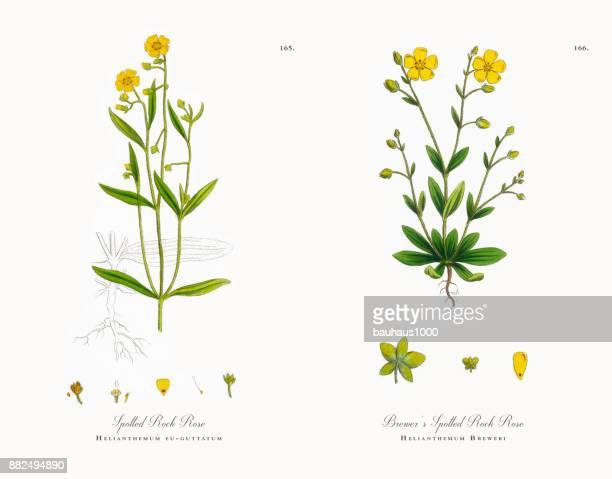 spotted rock rose, helianthemum eu-guttatum, victorian botanical illustration, 1863 - plant bulb stock illustrations