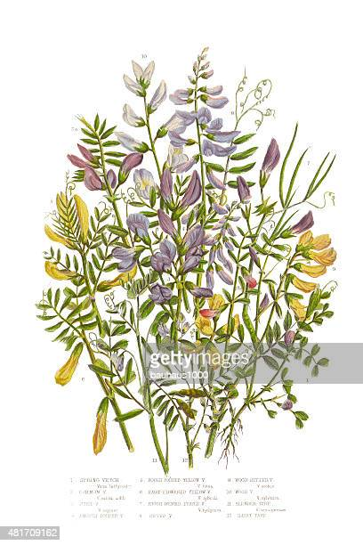 spring vetch, vicia, and wood bitter victorian botanical illustration - broad bean stock illustrations, clip art, cartoons, & icons