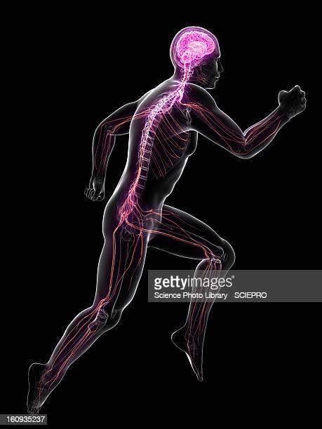 sprinter, artwork - human nervous system stock illustrations