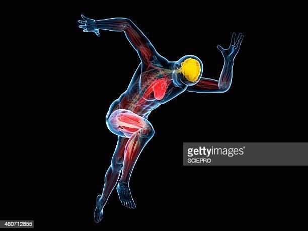 ilustraciones, imágenes clip art, dibujos animados e iconos de stock de sprinter, artwork - sistema circulatorio