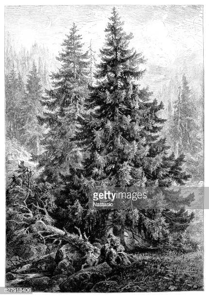 spruce pine tree or pinus picea - perennial stock illustrations, clip art, cartoons, & icons