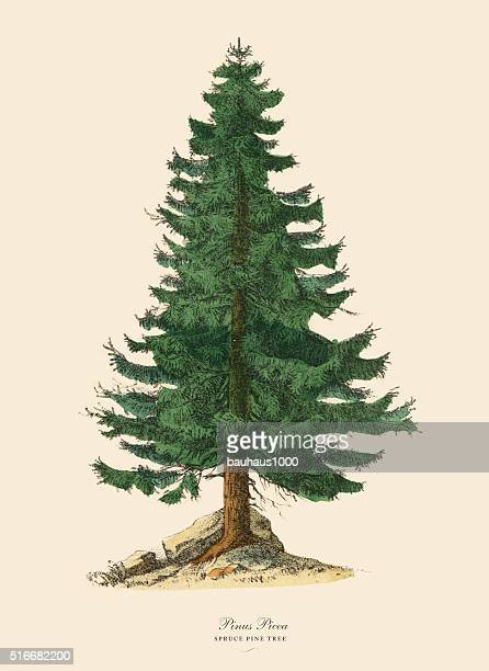 spruce pine tree or pinus picea, victorian botanical illustration - spruce tree stock illustrations