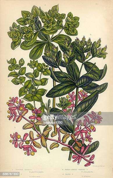 Euphorbe ésule irlandais Euphorbe ésule, soleil Euphorbe ésule, Victorienne Illustration botanique