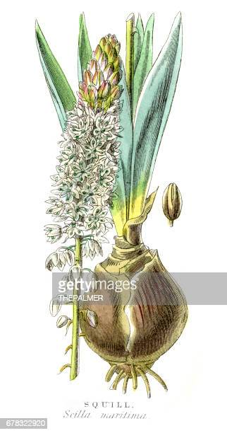 squill botanical engraving 1857 - plant bulb stock illustrations, clip art, cartoons, & icons