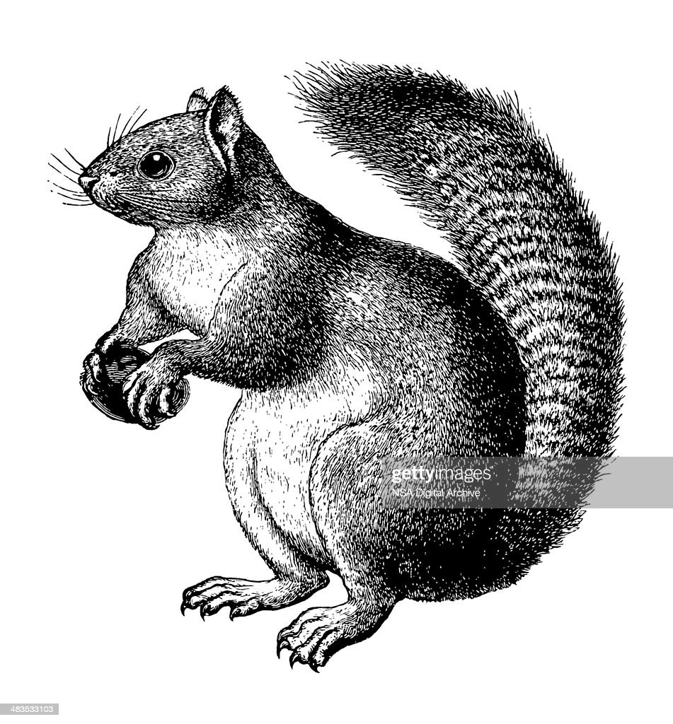 Squirrel : stock illustration