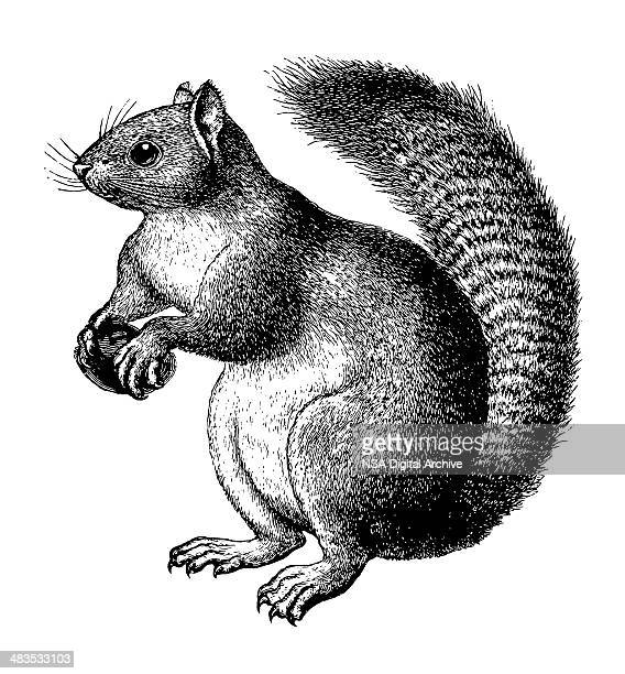 squirrel - 19th century style stock illustrations