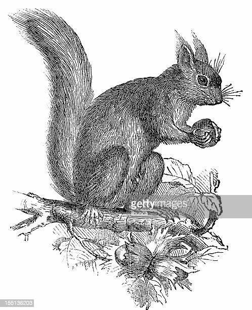 squirrell (sciurus vulgaris) - squirrel stock illustrations