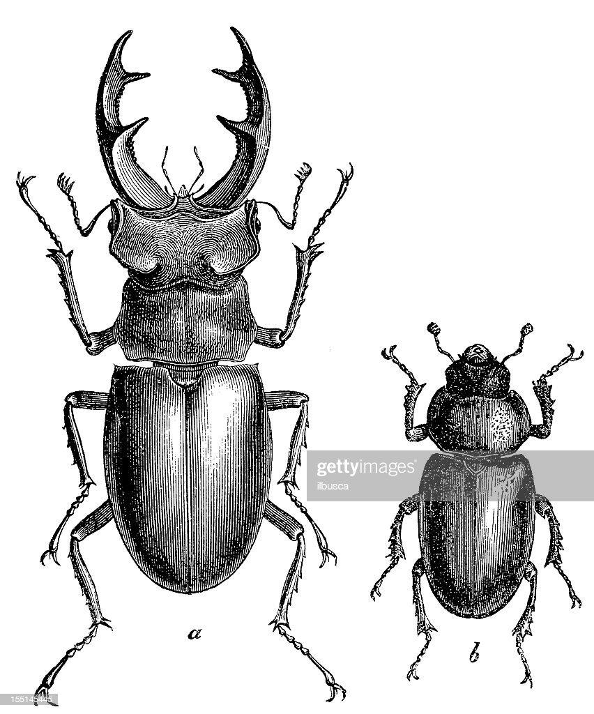 Stag Beetle (Lucanus Cervus) male and female : stock illustration