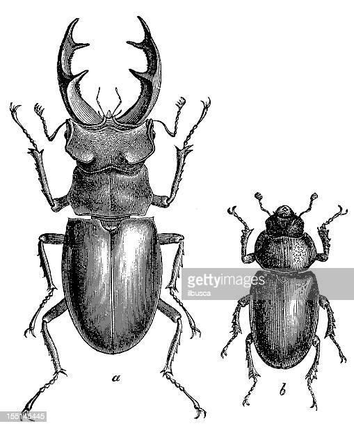 illustrations, cliparts, dessins animés et icônes de lucane (lucanus cervus) pour hommes et femmes - insecte