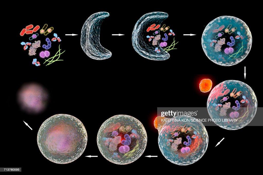 Stages of autophagy, illustration : stock illustration