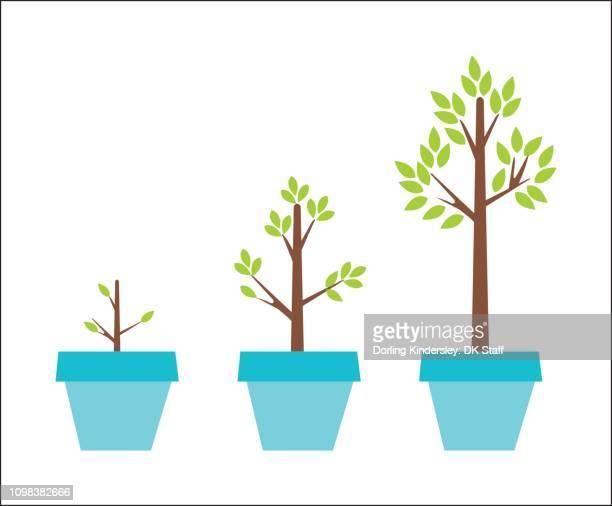 ilustrações de stock, clip art, desenhos animados e ícones de stages of growing a plant - planta de vaso